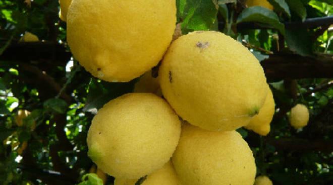 17171086-limoni.jpg
