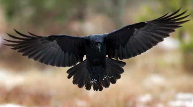 corvo-imperiale.jpg