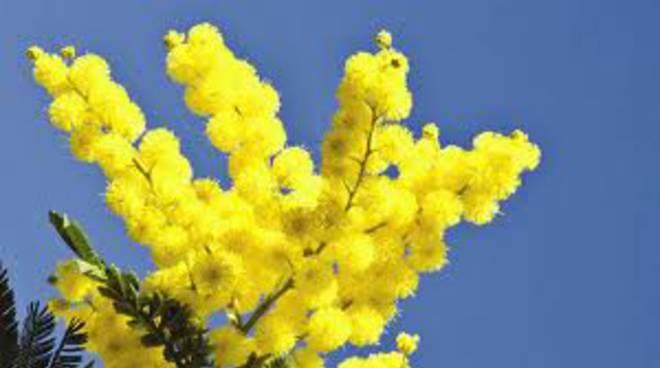 una-mimosa-per-tutte-le-donne.jpg
