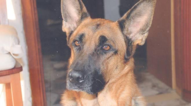 Vita E Morte Di Un Cane Pastore Tedesco Era Il Nostro Cane