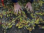 Olive harvesting in Southern France