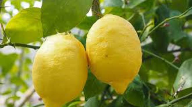 agnello-limoni-vinaccia-evento