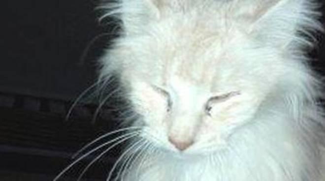 Trovato Allevamento Di Gatti Norvegesi Gli Esemplari Denutriti E