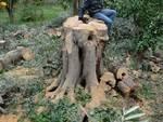 Sorrento condannato contadino per taglio albero