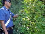Scoperte 2.600 piante di cannabis sui Monti Lattari