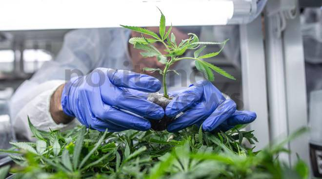 Cannabis light, stop della Cassazione: «La vendita di derivati è reato»
