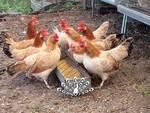 Con il caldo di questi giorni le galline fanno le uova già sode
