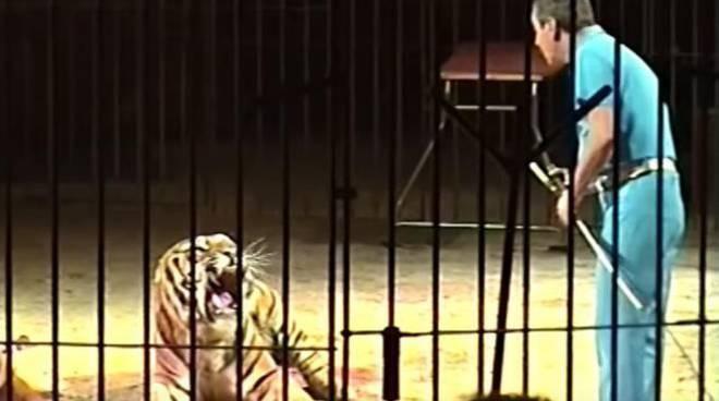 domatore ucciso dalla tigre