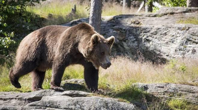 Il Ministro Costa: Orso M49, pronto la diffida per la provincia di Trento