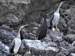 Marangone dal ciuffo, il piccolo Cormorano nidifica per la prima volta in Campania.