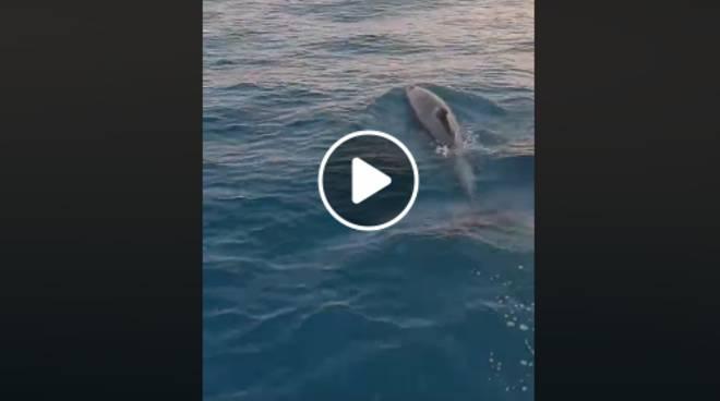 delfini amalfi