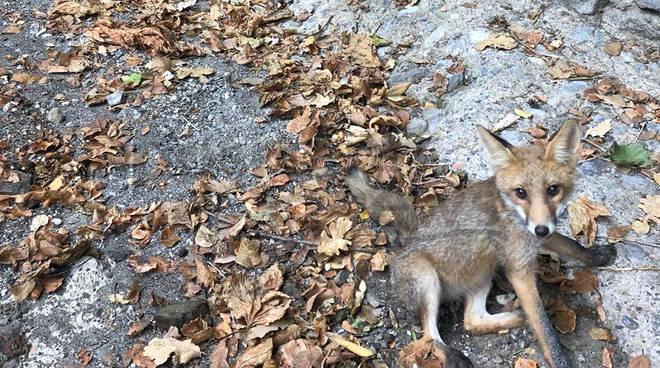 Dopo i lupi e gli orsi, tocca alle volpi?