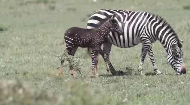 Kenya: avvistata piccola zebra che vive nella Maasai Mara