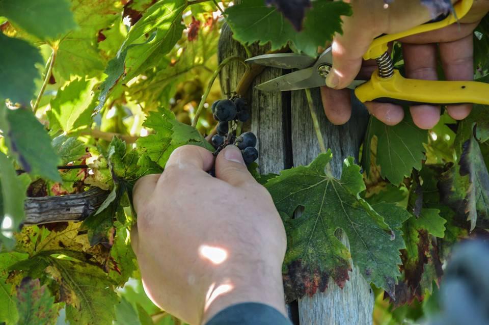 Vico Equense. Studenti in vigna per raccogliere, vendemmiare e valorizzare l'Uva di Sabato