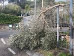 Alberi abbattuti dal vento in penisola sorrentina