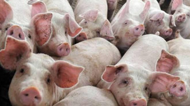 Peste africana in Cina, milioni di suini abbatuti: come reagirà il mercato italiano? Aumenterà il prezzo della carne?
