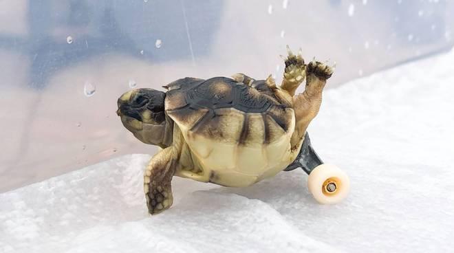 Addio ad Helix, la tartaruga che va più veloce della disabilità