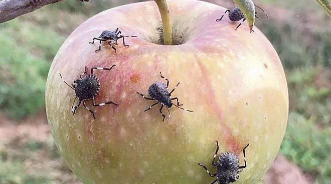 Vespa vs cimice. Il futuro dei nostri alberi da frutta appeso a una vespa?