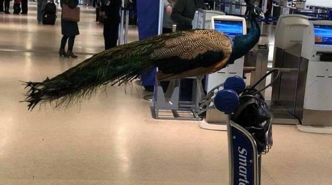 Il pavone sì, il pavone no. Ai volatili non è permesso volare... in aereo!