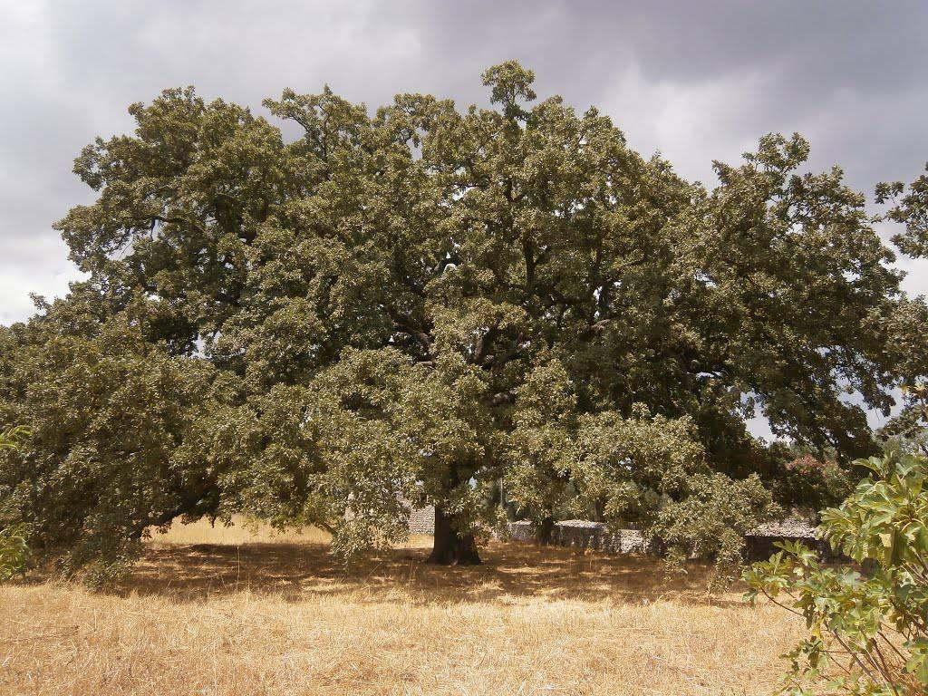 Votate la quercia dei cento cavalieri: fate vincere l\'Italia che ama gli alberi