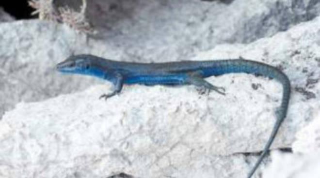 "\""Save blue lizard\"", lunga vita alla lucertola assurra!"