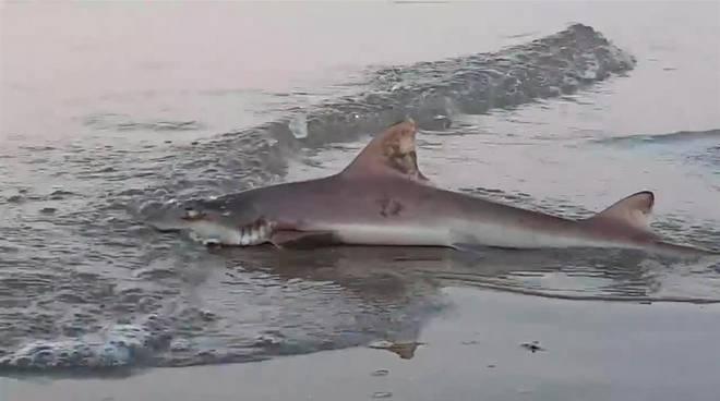 Castellammare di Stabia, piccolo squalo catturato da sub