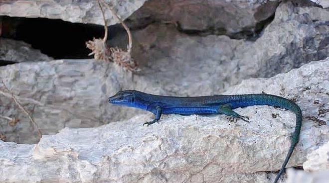 Lucertola azzurra