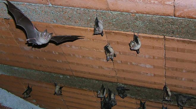Vivere con 500 pipistrelli? Si può.