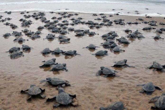 Storie di Covid-19, in India migliaia di tartarughe sulle spiagge abbandonate dai turisti.