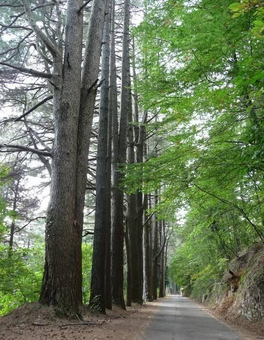 Monte Faito, scempiato albero plurisecolare