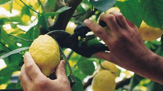 raccolta limoni ravello morte bracciante