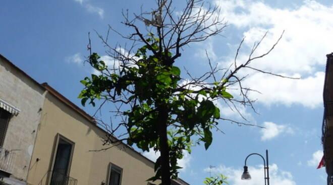 Piano di Sorrento, danni agli aranci mai cresciuti sul Corso Italia