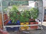 Cava de'Tirreni, la Polizia di Stato scopre una serra artigianale per la coltivazione di cannabis