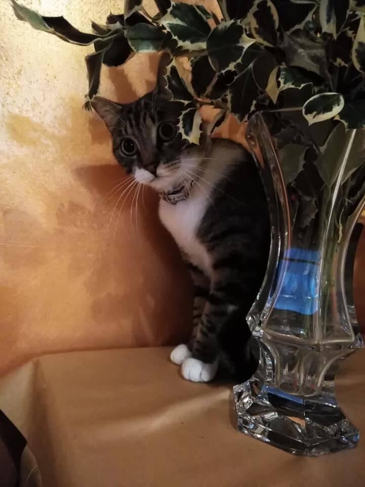 Meta. Smarrito un gatto grigio con le zampette bianche, l'appello della proprietaria