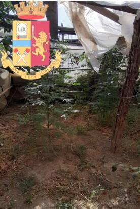Nocera: la Polizia sequestra piante di canapa coltivate