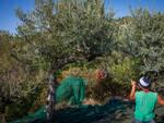 Anacapri tra i primi comuni d'Italia ad avviare la raccolta delle olive 2020 grazie all'associazione L'Oro di Capri