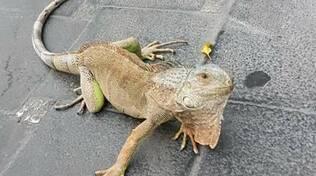 iguana meta