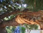 Agronomo Mauro Costantino - Ecco perchè ho dovuto abbattere questo Pinus halepensis in via Bagnulo.