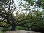 """La \""""La Quercia delle streghe\"""" di Gragnano - Capannoni, Lucca vince il Concorso sugli alberi monumentali 2020"""