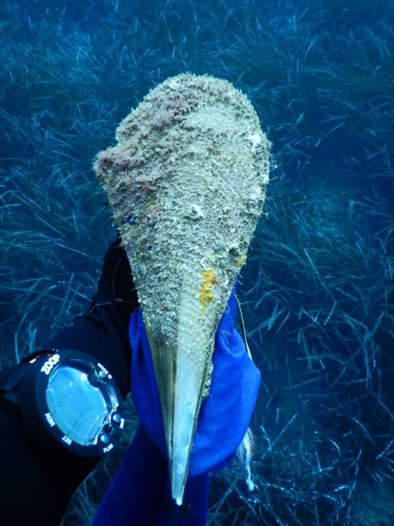 """Pinna Nobilis rischia estinzione, l'allarme da Punta Campanella: """"Qui il 100% di mortalità"""""""