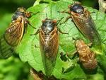 Dopo la pandemia si attende la biblica invasione delle cicale a New York