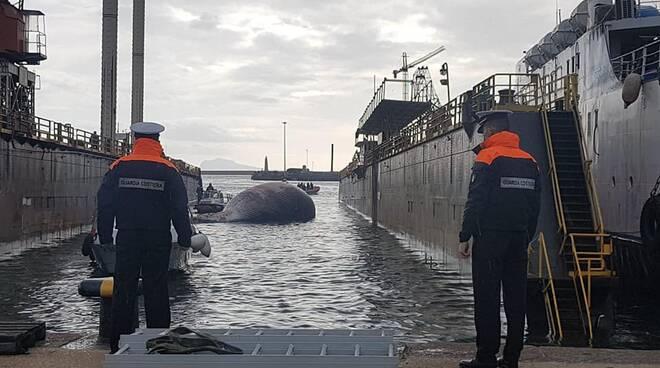 La balena spiaggiata a Sorrento arrivata a Napoli per necroscopia