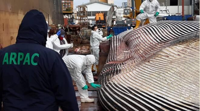 Sorrento, balena probabilmente morta per cause naturali