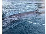 Sorrento, balenottera ritrova morta. Le parole del Parco Marino di Punta Campanella