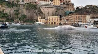 Sorrento, iniziata la rimozione della carcassa della balena