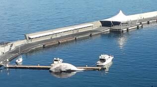 Sorrento, la balena morta ancora ferma nel porto: rischia di esplodere