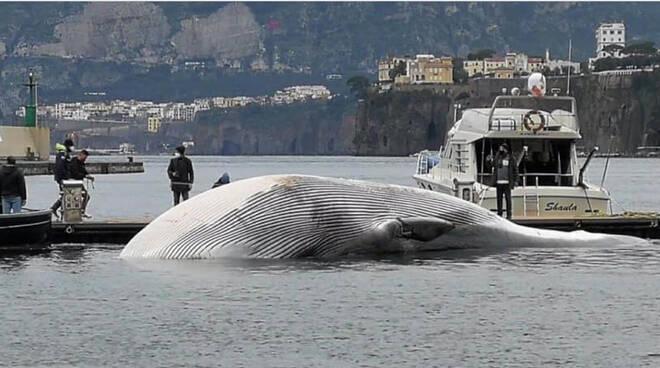 Sorrento, perché non conservare nella Basilica di Sant'Antonino un osso della balena morta a Marina Piccola?