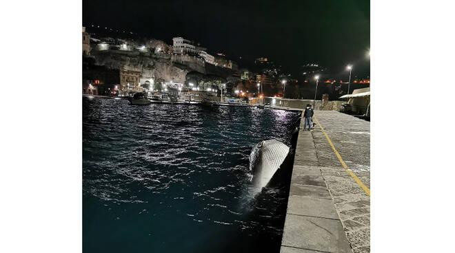Sorrento, Raffaele Attardi interviene sull'episodio della balena arenatasi nel porto