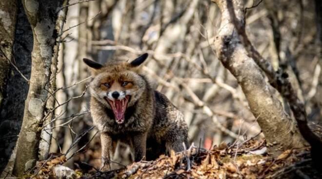 Faito, a tu per tu con la volpe: gli scatti sono straordinari