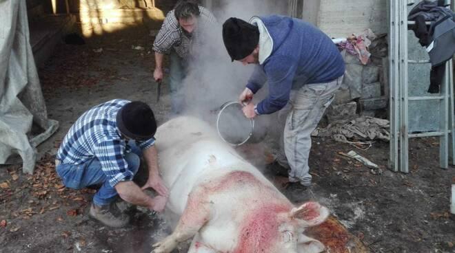 Macellazione del Porco Maiale